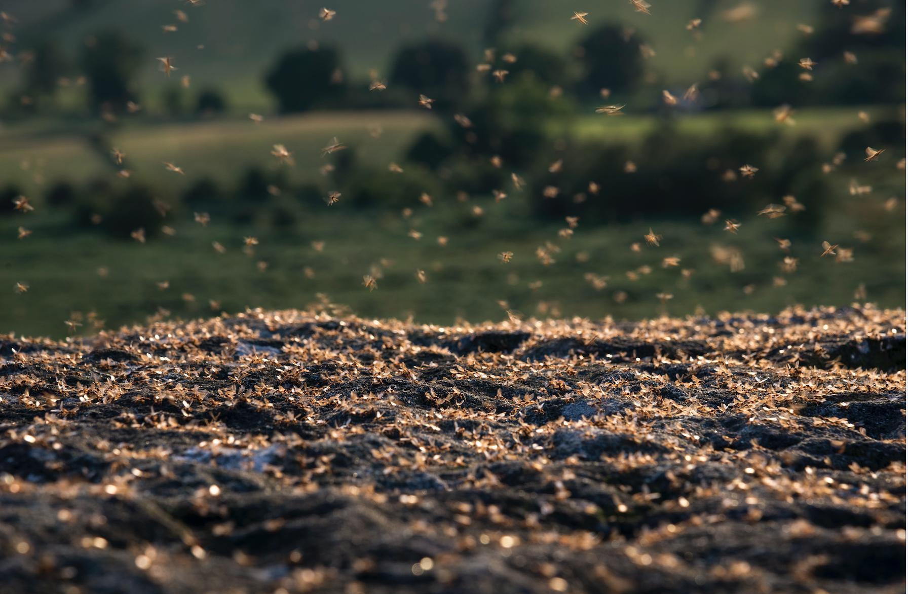 Flying ants 2