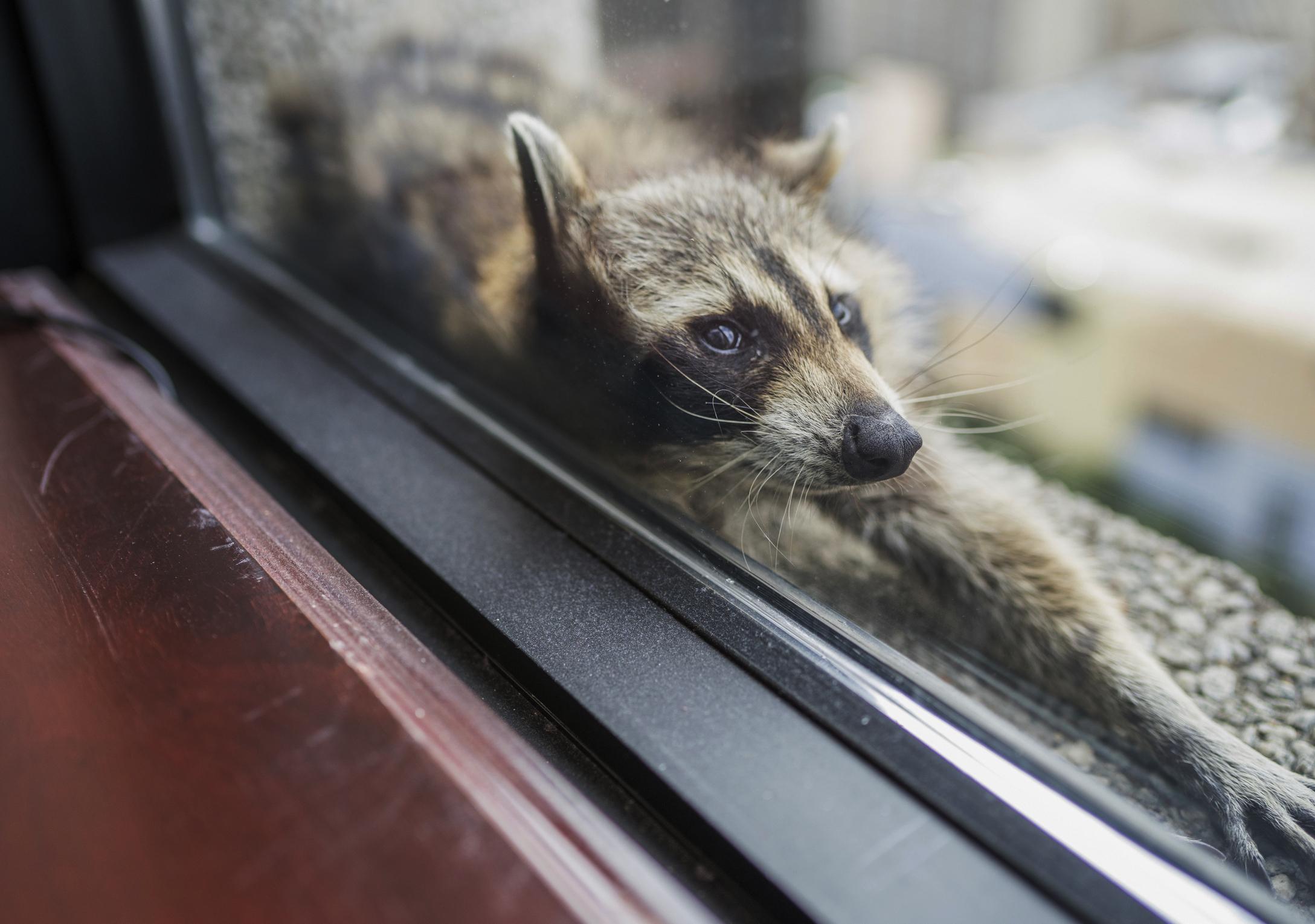 Raccoon stuck on UBS Tower
