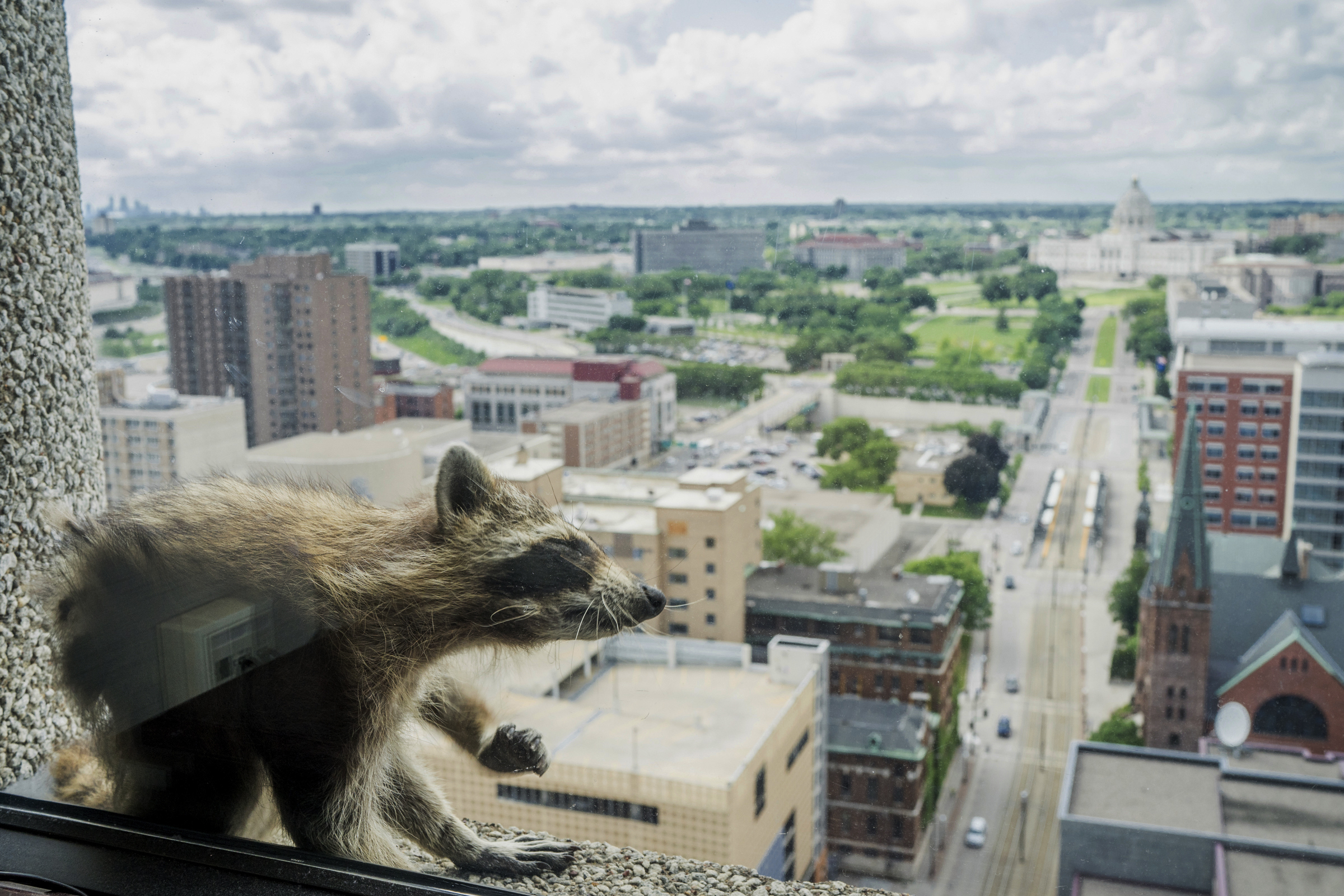 Raccoon stuck on UBS Tower